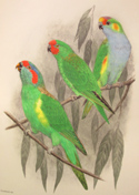 illustration of parrots from 'Birds of Australia,' one of the books on exhibit