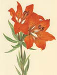 Colored illustration of an orange lily.