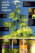 brochure: How to Identify Giant Hogweed