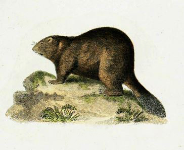 Beaver (Castor fiber) - British Mammals - Woodland Trust | 298x364